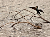 dford-bird